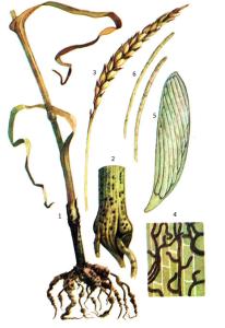 Gaeumannomyces graminis von Arx et Olivier, син.Ophiobolus graminis Sacc.