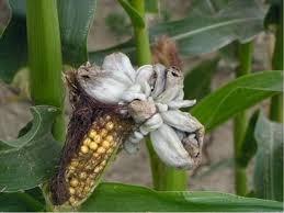 Головня кукурузы пузырчатая