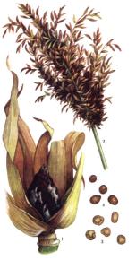 Sorosporium reilianum McAlp.