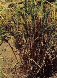 Головня пшеницы карликовая