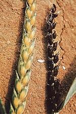 Головня пшеницы пыльная