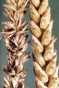 Головня пшеницы твердая