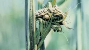 Головня ржи стеблевая