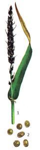 Ustilago nigra Tapke