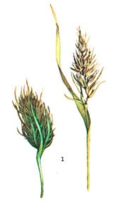 Wheat dwart