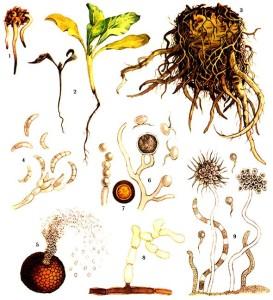 Fusarium Link, Pythium debaryanum Hesse, Aphanomyces cochlioides Drechsl., Phoma betae Frank, Rhizoctonia solani Kuehn
