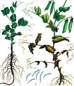 Fusarium Link