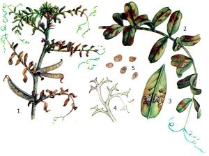 Peronospora viciae-sativae Gaeum.