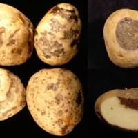 Макроспориоз картофеля ранняя сухая пятнистость_2