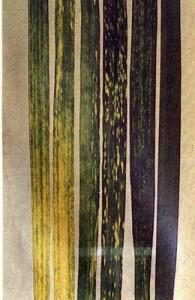 Мозаика пшеницы полосатая