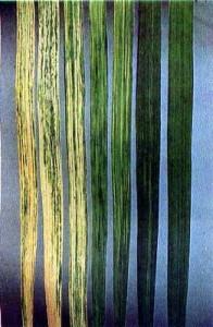 Мозаика пшеницы русская или мозаика пшеницы озимой