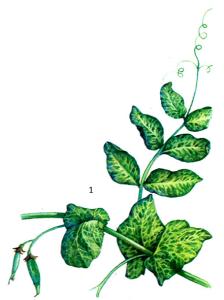 Pisum virus 2 Smith