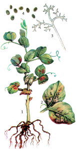 Peronospora pisi Sydow