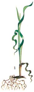 Heterodera avenae Wollenweber