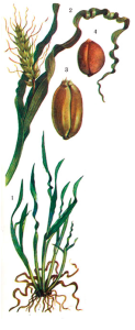 Anguina tritici Filipjev