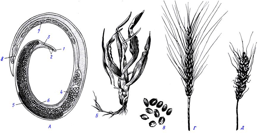 Нематода пшеничная