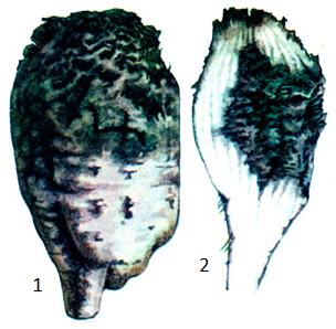 Ditylenchus dipsaci (Kflhn.) Filipjev.