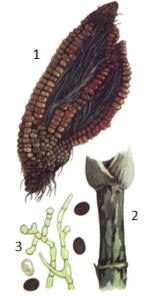 Nigrospora oryzae Petch.