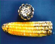 Нигроспороз кукурузы