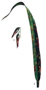 Pseudomonas syringae pv. striafaciens Yong.