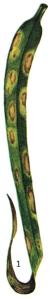 Pseudomonas syringae pv. coronafaciens Voung et ali.