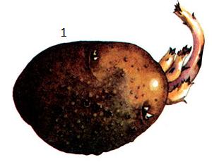 Oospora pustulans Owen et Wakef.