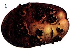 Streptomyces scabies Waks. et Heur.
