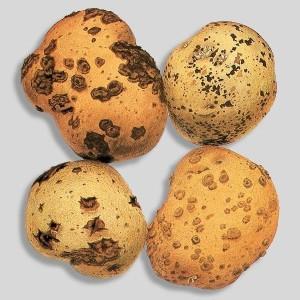 Парша картофеля обыкновенная