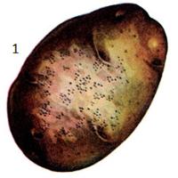 Helminthosporium solani Dur. et Mont.