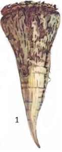 Actinomices cretaceus Krassil