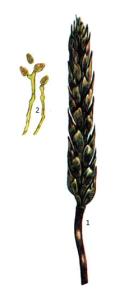 Cladosporium herbarum Fr.