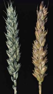 Плесень пшеницы оливковая