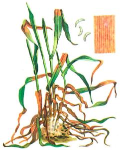 Fusarium nivale Ces.