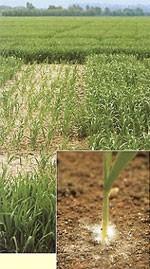 Плесень пшеницы снежная