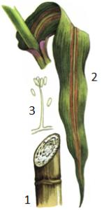 Cephalosporium acremonium Corda