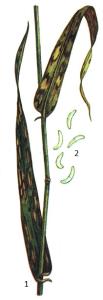 Rhynchosporium graminicola Heinsen