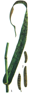 Bipolaris sorokiniana Shoem.