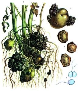 Synchytrium endobioticum Pers.