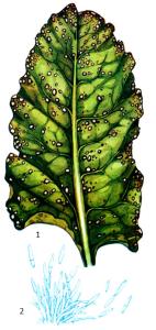 Ramularia betae Rostr.