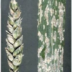 Роса пшеницы мучнистая