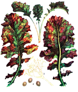 Peronospora brassicae Gaeum.
