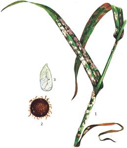 Erysiphe graminis DC. f. secalis Em. Marchal
