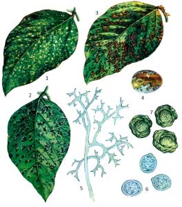Peronospora manshurica Sydow