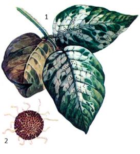 Erysiphe communis Grev. f. glycine Jacz.