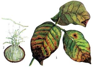 Septoria glycinea Hemmi