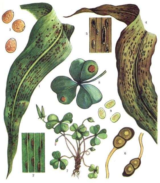 Puccinia sorghi Schw.