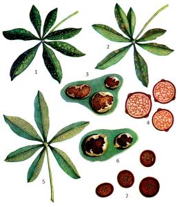 Uromyces lupinicola Bubak