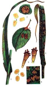 Puccinia coronifera Kleb.