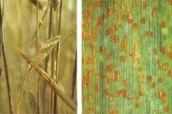 Ржавчина пшеницы бурая листовая