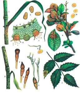 Puccinia graminis Pers. f. sp. tritici Eriks. et Henn.